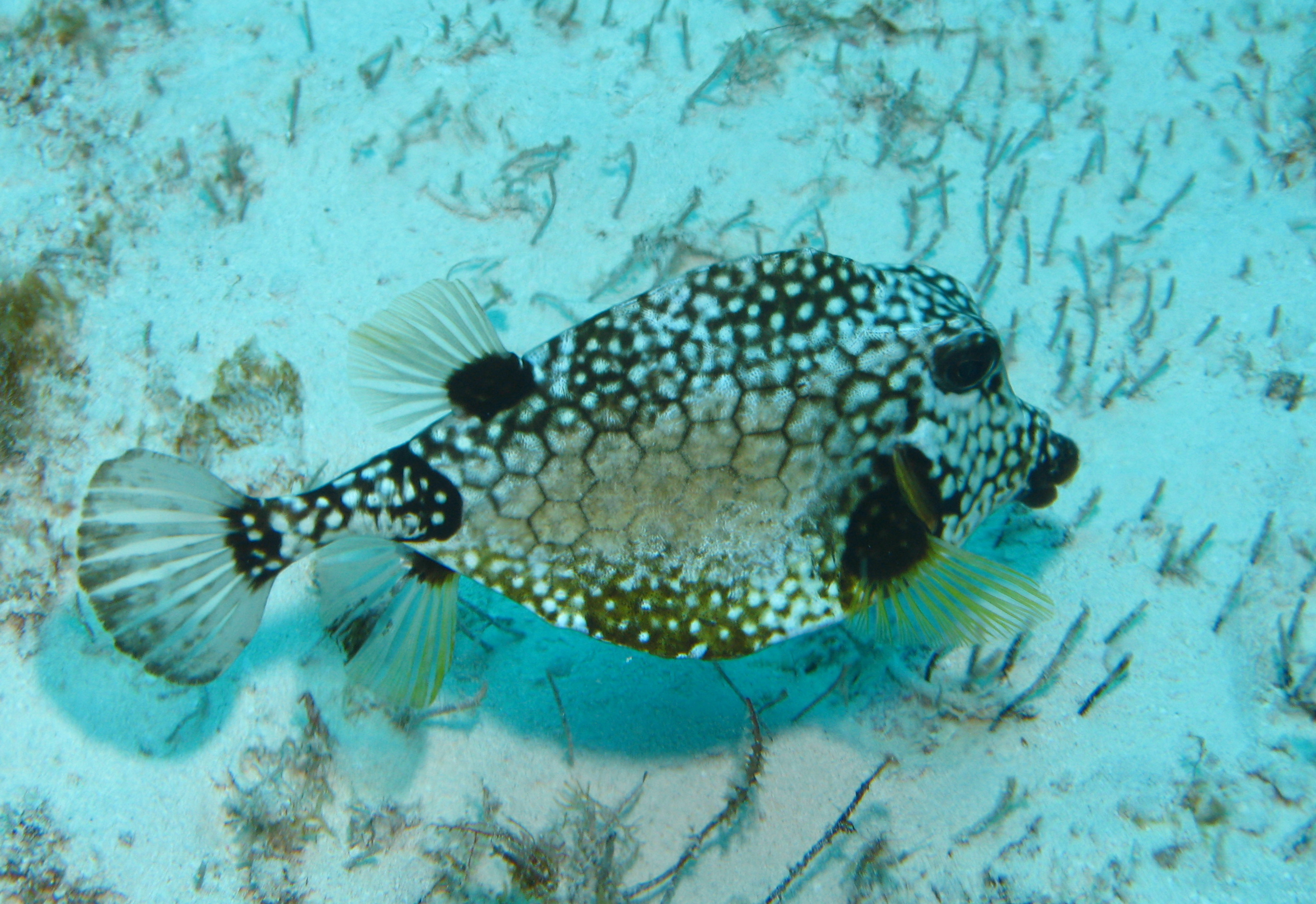 Trunk Fish  ~  COZUMEL