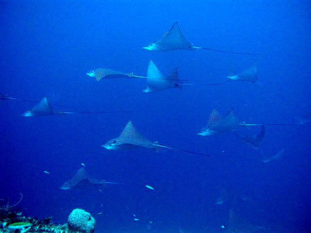 SPOTTED EAGLE RAYS FOTO BY RAY HUNLEY